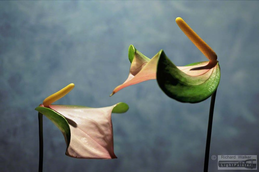 Anthuriums, Richard Walker, light painting photography, long time exposure, floral portrait, flower photography, macro photography, studio portrait, Hosemaster Lighting System, medium format photography, Fujifilm GX680 camera