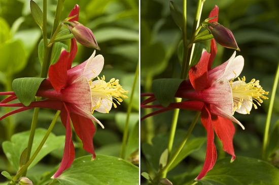 columbine, aquilegia, fill flash photography, floral portraiture, lighting flowers,