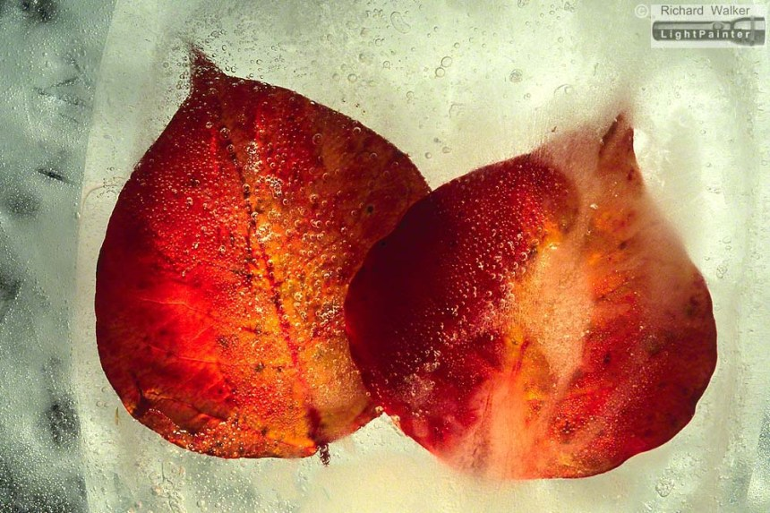 Autumn Leaf In Ice #1, Richard Walker, light painting photography, long time exposure, macro photography, studio portrait, Hosemaster Lighting System, medium format photography, Fujifilm GX680 camera