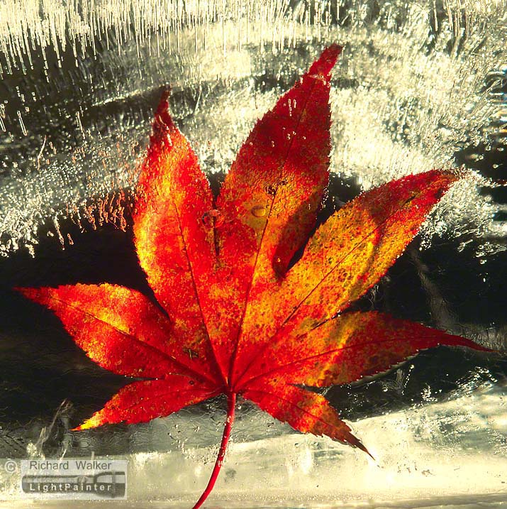 Autumn Leaf In Ice #11, Richard Walker, light painting photography, long time exposure, macro photography, studio portrait, Hosemaster Lighting System, medium format photography, Fujifilm GX680 camera