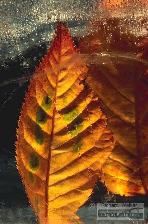 Autumn Leaf In Ice #9, Richard Walker, light painting photography, long time exposure, macro photography, studio portrait, Hosemaster Lighting System, medium format photography, Fujifilm GX680 camera
