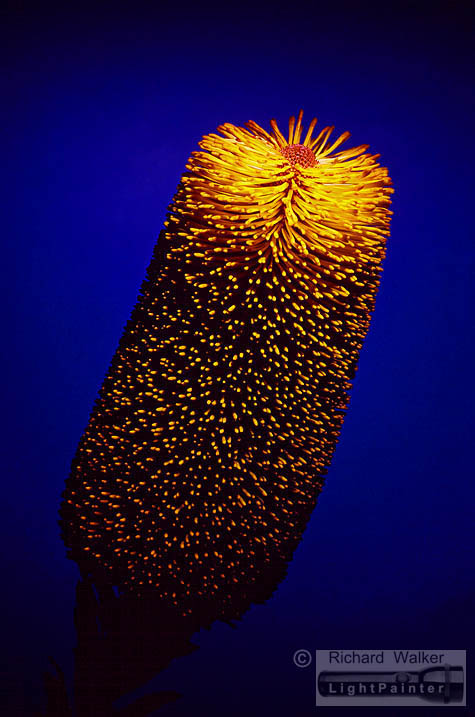 Cut-leaf Banksia, Richard Walker, light painting photography, long time exposure, floral portrait, flower photography, macro photography, studio portrait, Hosemaster Lighting System, medium format photography, Fujifilm GX680 camera