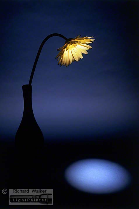 Gerbera, Richard Walker, light painting photography, long time exposure, floral portrait, flower photography, macro photography, studio portrait, Hosemaster Lighting System, medium format photography, Fujifilm GX680 camera