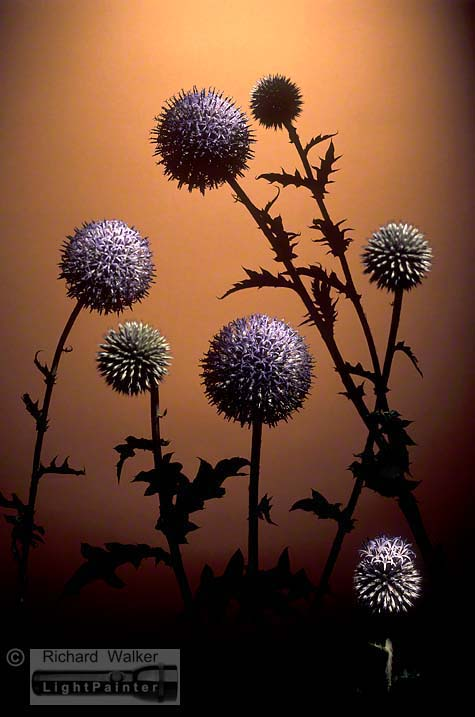 Globe Thistles, Richard Walker, light painting photography, long time exposure, floral portrait, flower photography, macro photography, studio portrait, Hosemaster Lighting System, medium format photography, Fujifilm GX680 camera