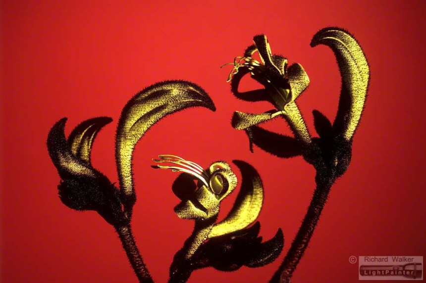 Kangaroo Paw, Richard Walker, light painting photography, long time exposure, floral portrait, flower photography, macro photography, studio portrait, Hosemaster Lighting System, medium format photography, Fujifilm GX680 camera