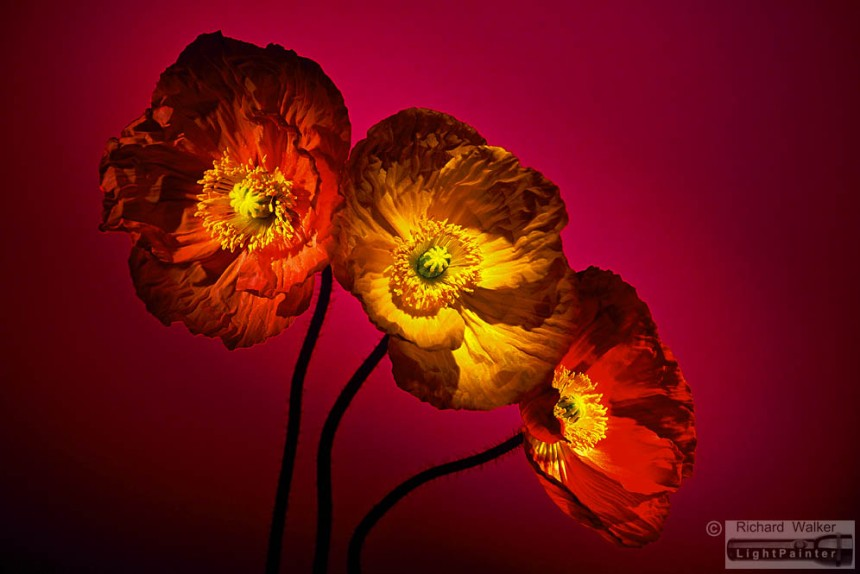 Poppies, Richard Walker, light painting photography, long time exposure, floral portrait, flower photography, macro photography, studio portrait, Hosemaster Lighting System, medium format photography, Fujifilm GX680 camera