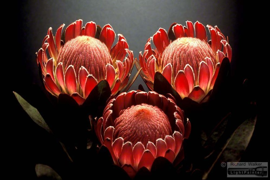 Queen Proteas, Richard Walker, light painting photography, long time exposure, floral portrait, flower photography, macro photography, studio portrait, Hosemaster Lighting System, medium format photography, Fujifilm GX680 camera