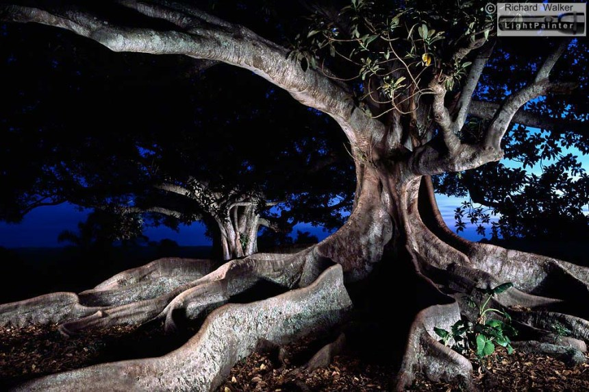 Shelter, Moreton Bay Fig Tree, Lennox Head, buttress roots, North Coast of New South Wales, light painting photography, landscapes at dusk, long time exposure, medium format photography, Fuji T64, Fujifilm GX680