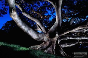 Moreton Bay Fig, Centennial Park Sydney, light painting photography, time exposure, landscapes at dusk,