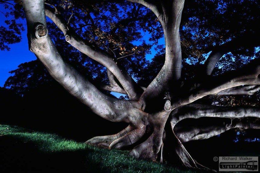 Moreton Bay Fig, Centennial Park Sydney, light painting photography, landscapes at dusk, long time exposure, medium format photography, Fujifilm GX680