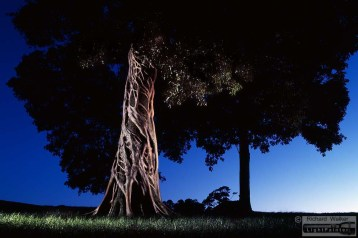 Strangler Fig, Moreton Bay FiStrangler Fig, North Coast of New South Wales, Tuckombil, light painting photography, landscapes at dusk, long time exposure, medium format photography,