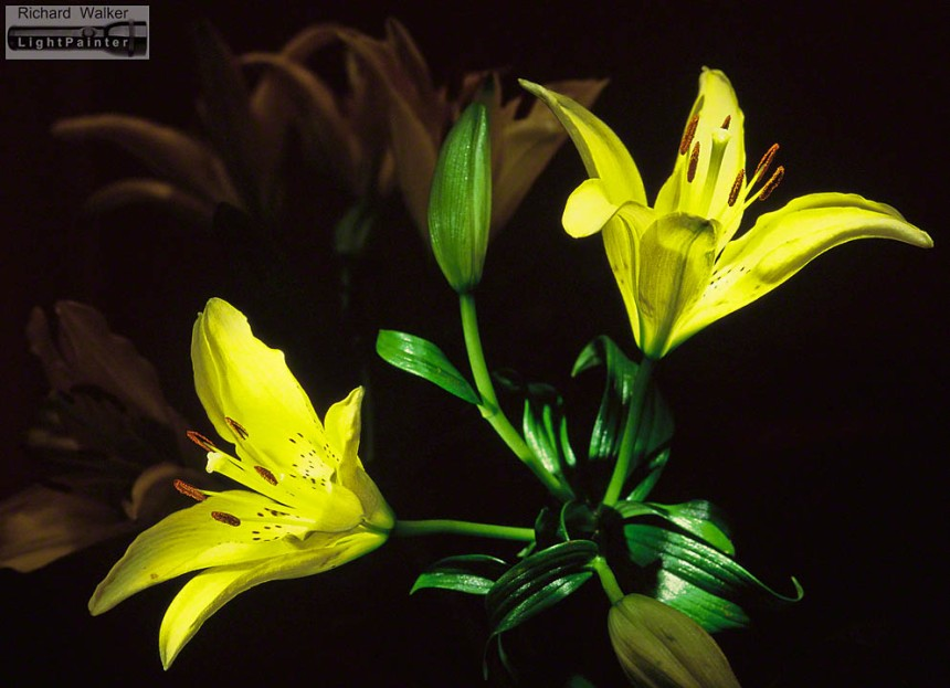 Tiger Lilies 1999, MagLite flashlight, MagLite torch, my first light painting, long time exposure, light painting photography, Fuji Velvia, tiger lilies,