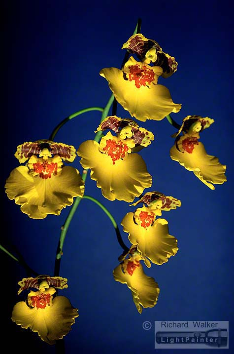 Hosemaster Light Painting System, light painting, oncidium orchid, Richard Walker, multiple exposures