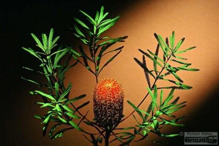 Banksia Brownii, Australian flowers, floral portrait, studio portrait of flower, Horst P. Horst