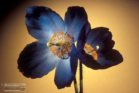 Meconopsis, Poppy, studio portrait of flowers, floral portraits, light painting photography, Hosemaster Light Painting System, long time exposure
