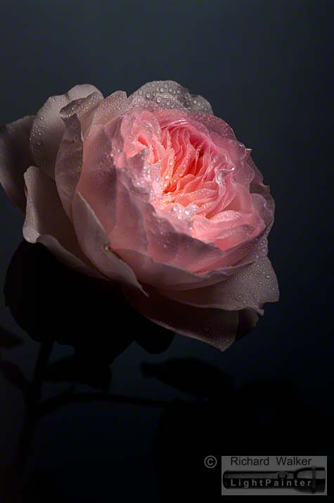 Rose - David Austin's Sharifa Asma