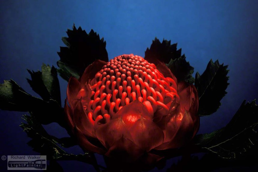 Telopea, Waratah, NSW floral emblem, studio portrait of flowers, floral portraits, light painting photography, Hosemaster Light Painting System, long time exposure
