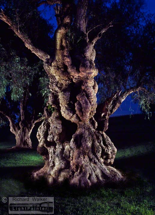 Ancient Pepper Tree