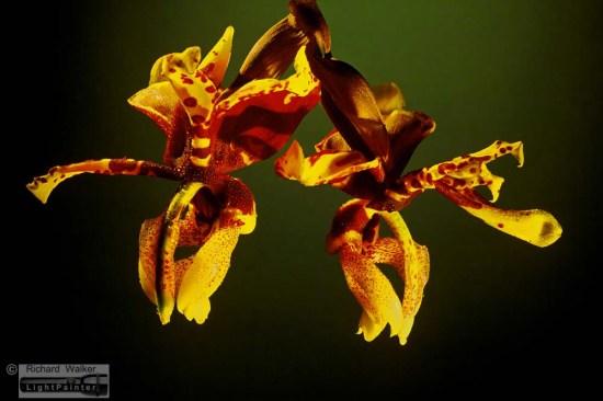 Orchid -- Stanhopea Tigrina